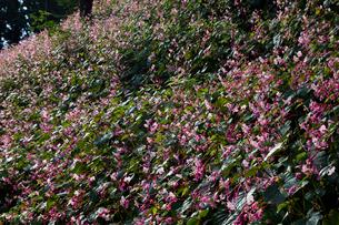 シュウカイドウの花の写真素材 [FYI03002528]