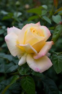 バラの花の写真素材 [FYI03002533]