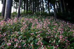 シュウカイドウの花の写真素材 [FYI03002565]