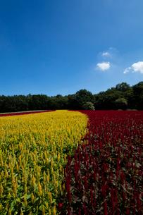 ケイトウの花畑の写真素材 [FYI03002568]