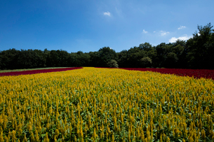 ケイトウの花畑の写真素材 [FYI03002569]