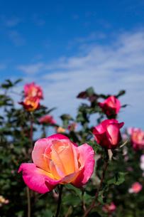 オレンジのバラの花の写真素材 [FYI03002604]