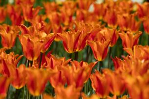 オレンジのチューリップの花の写真素材 [FYI03002715]