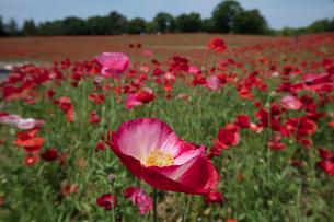 シャーレーポピー花畑の写真素材 [FYI03002723]