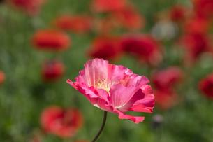シャーレーポピー花畑の写真素材 [FYI03002724]