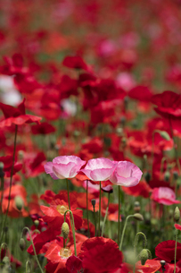 シャーレーポピー花畑の写真素材 [FYI03002730]