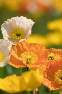 アイランドポピーの花の写真素材 [FYI03002737]