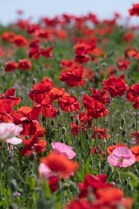 シャーレーポピー花畑の写真素材 [FYI03002739]