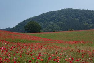 シャーレーポピー花畑の写真素材 [FYI03002741]