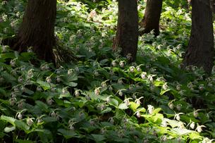 クマガイソウの花の写真素材 [FYI03002801]