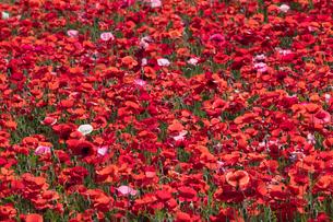 シャーレーポピー花畑の写真素材 [FYI03002814]