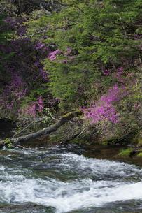 ツツジ咲く竜頭の滝の写真素材 [FYI03002838]