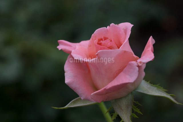 ピンクのバラの花の写真素材 [FYI03002841]