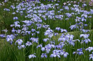 ハナショウブの花の写真素材 [FYI03002860]