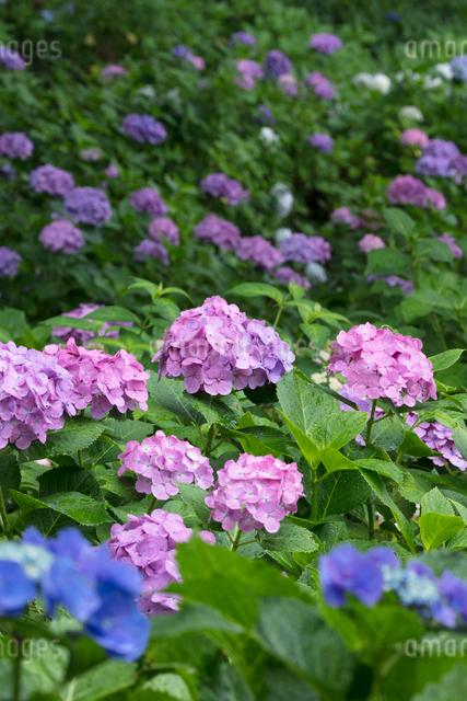 アジサイの花の写真素材 [FYI03002865]