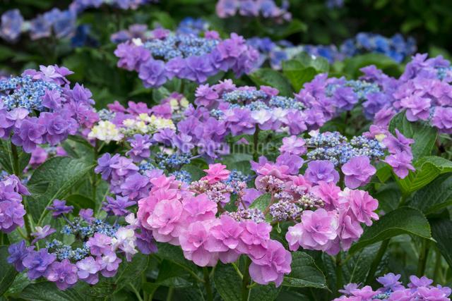 アジサイの花の写真素材 [FYI03002877]