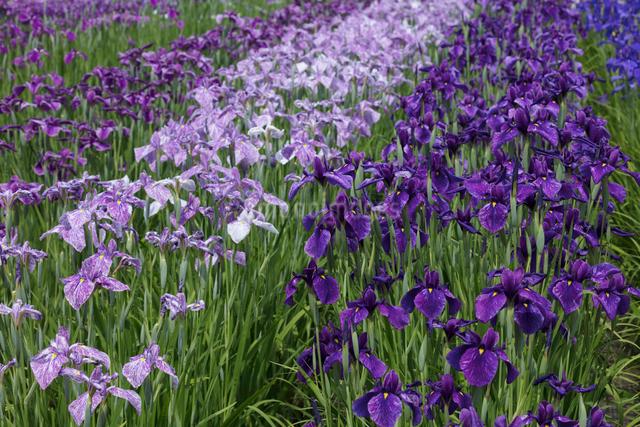 ハナショウブの花の写真素材 [FYI03002884]