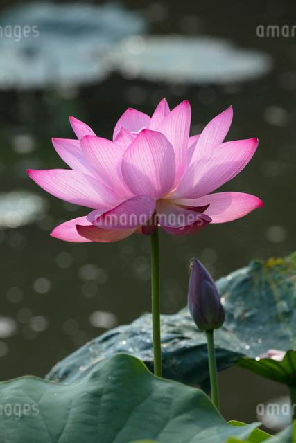 ハスの花の写真素材 [FYI03002889]
