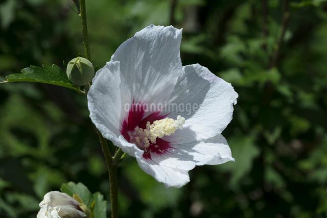 ムクゲの花の写真素材 [FYI03002891]