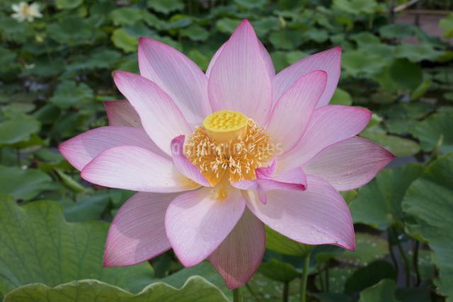 ハスの花の写真素材 [FYI03002904]