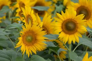 ヒマワリの花畑の写真素材 [FYI03002909]