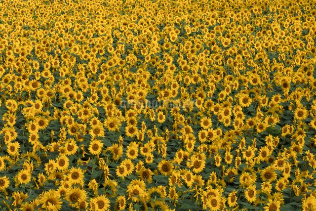 ヒマワリの花畑の写真素材 [FYI03002911]