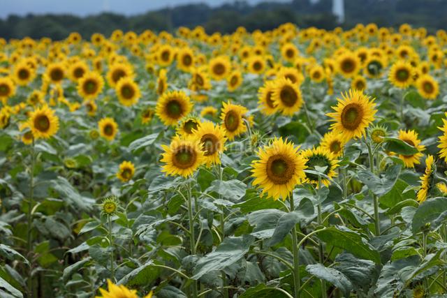ヒマワリの花畑の写真素材 [FYI03002916]