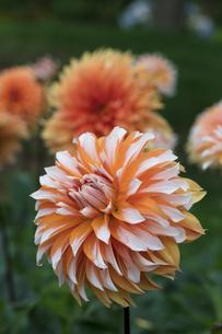 ダリアの花の写真素材 [FYI03002923]