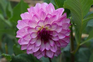 ダリアの花の写真素材 [FYI03002928]