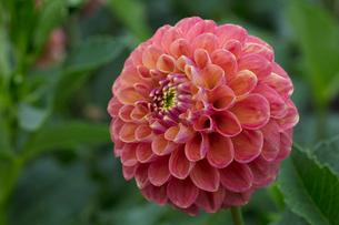ダリアの花の写真素材 [FYI03002930]