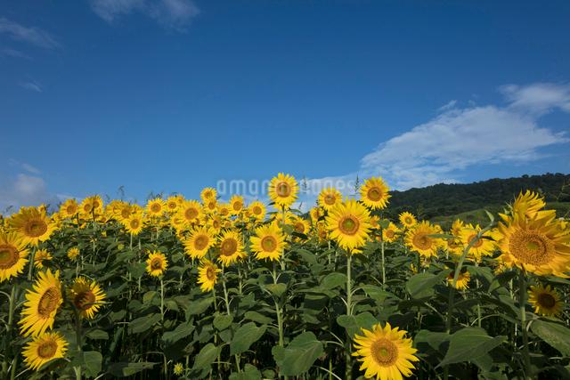 ヒマワリの花畑の写真素材 [FYI03002935]