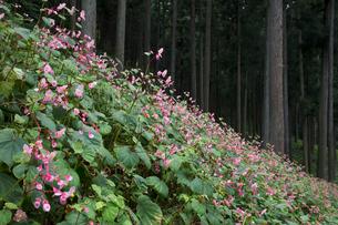 シュウカイドウの花の写真素材 [FYI03002939]