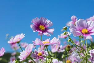 コスモスの花の写真素材 [FYI03002958]