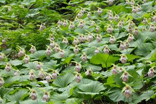 クマガイソウの花の写真素材 [FYI03003141]
