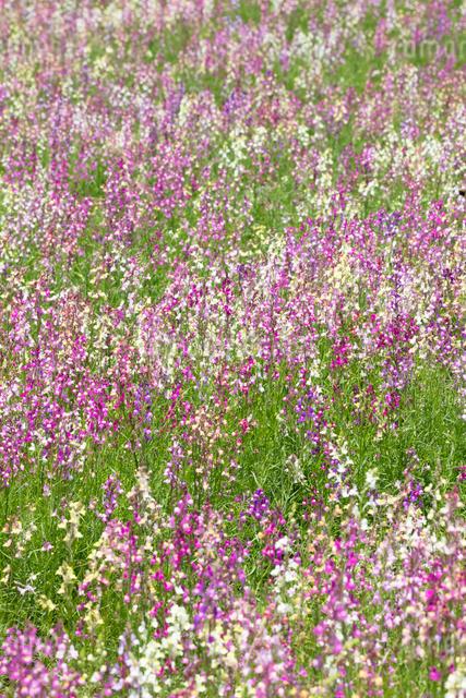 リナリアの花の写真素材 [FYI03003153]