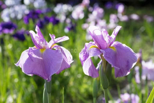 ハナショウブの花の写真素材 [FYI03003215]