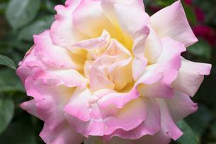 ピンクのバラの花の写真素材 [FYI03003229]