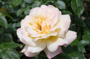 黄色いバラの花の写真素材 [FYI03003230]