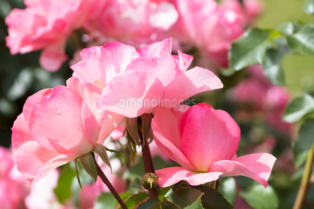 ピンクのバラの花の写真素材 [FYI03003231]