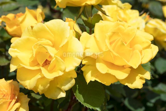 黄色いバラの花の写真素材 [FYI03003234]