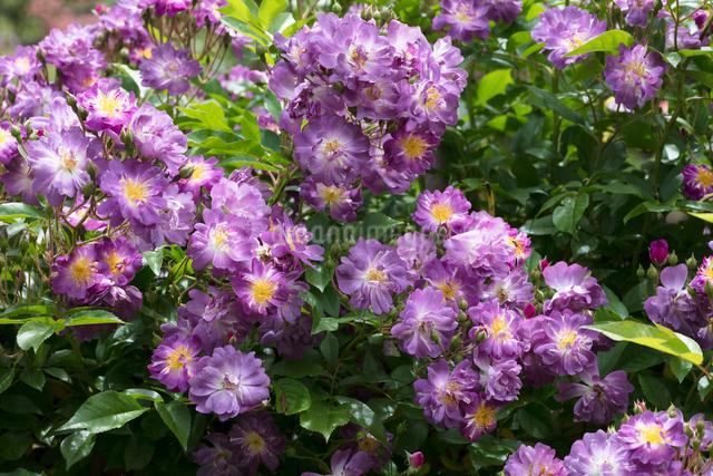 紫のバラの花の写真素材 [FYI03003239]
