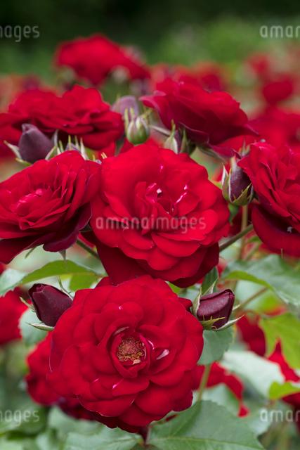 赤いバラの花の写真素材 [FYI03003241]