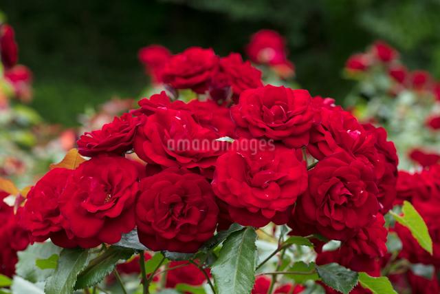 赤いバラの花の写真素材 [FYI03003242]