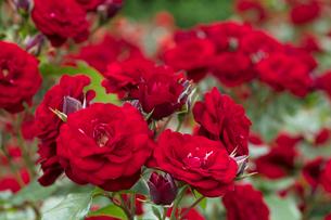 赤いバラの花の写真素材 [FYI03003243]