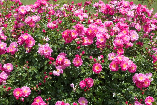 ピンクのバラの花の写真素材 [FYI03003246]