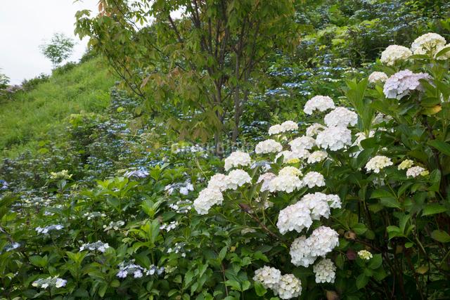 アジサイの花の写真素材 [FYI03003253]