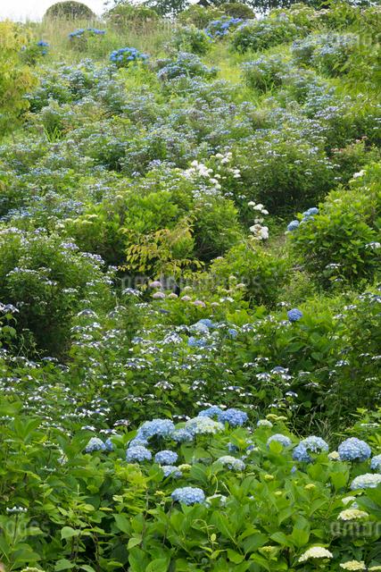 アジサイの花の写真素材 [FYI03003255]