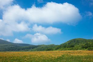 ニッコウキスゲの花畑の写真素材 [FYI03003260]