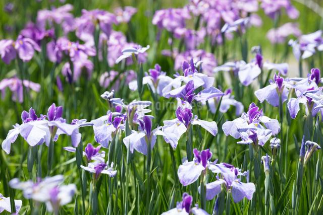 ハナショウブの花の写真素材 [FYI03003262]