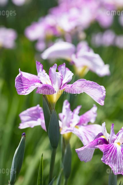 ハナショウブの花の写真素材 [FYI03003265]